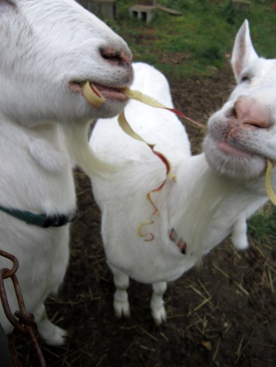 Goats Eating Apple Peels